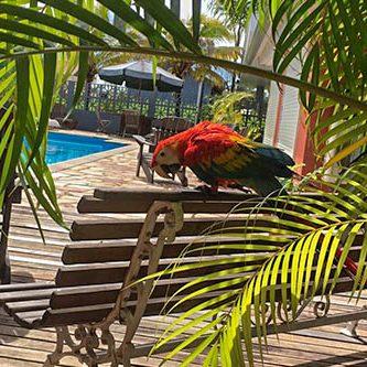 Ara au bord de la piscine de Residom, Kourou